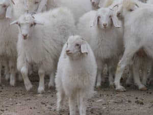 Cashmere Goats - The Schneider Group