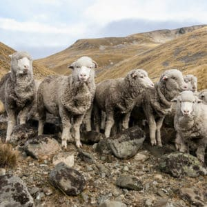 Wool Sheep - The Schneider Group - 1080x1080