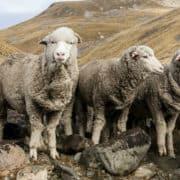 Wool Sheep - The Schneider Group - 1080x650