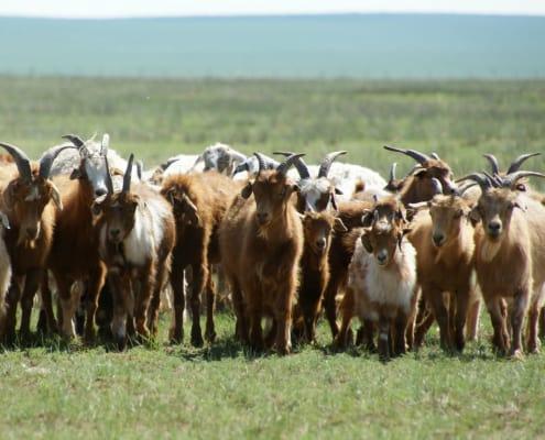 Cashmere goats Mongolia