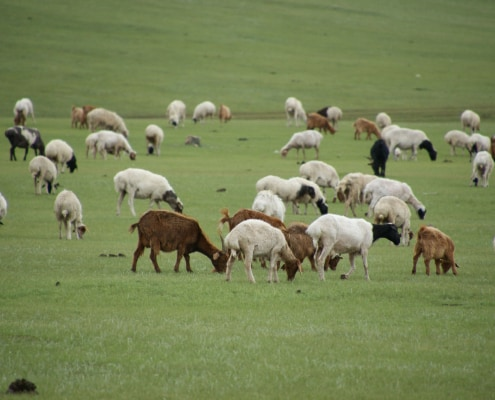 Mongolian Cashmere Goat Herd