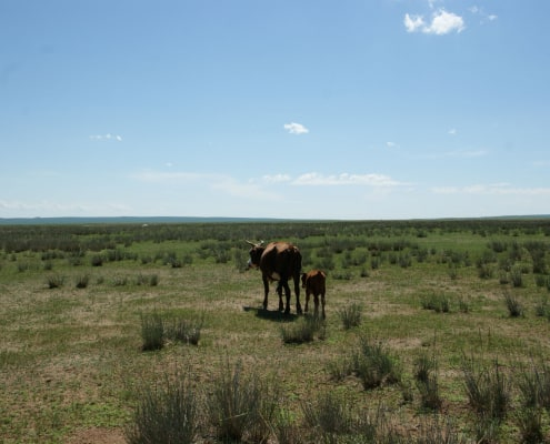 Cows in Mongolian Steppe