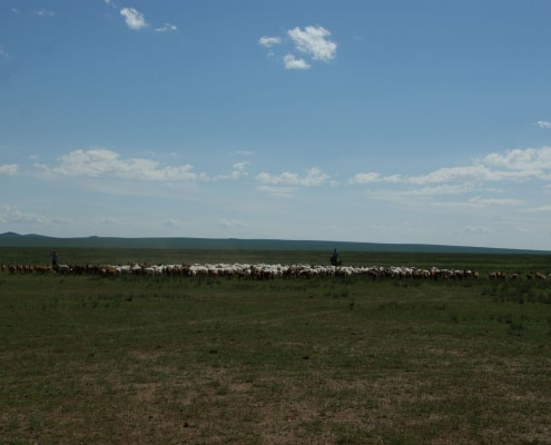 Cashmere herd in Mongolian Steppe