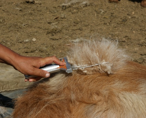 Combing cashmere