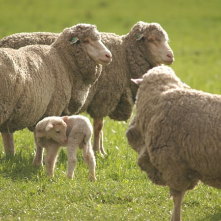 Wool Levy Discussion in Australia 2018 Authentico